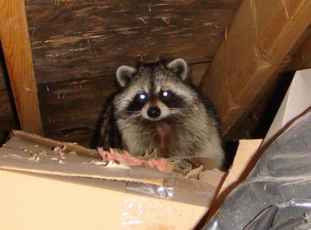 Raccoon Removal Service